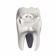 Gypsum teeth Hinrichs tooth collection '' Backi ''