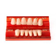 Front teeth Major Super Lux 6 pcs