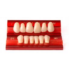 Dentex front teeth 6pcs